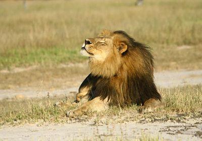 Los-leones-de-casi-toda-Africa-desaparecen-rapidamente_image640__opt
